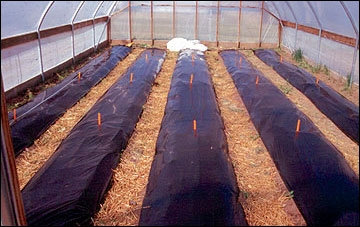 Black plastic mulch improve melon and watermelon yield and quality