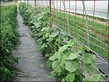 Trellising increases marketable yields