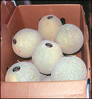 Melons are boxed for wholesale markets