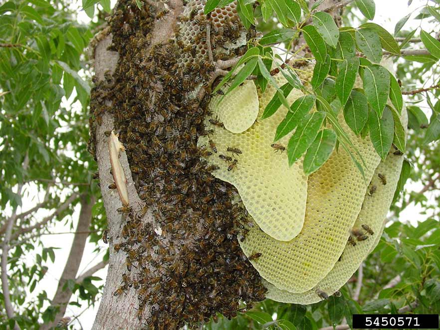 Honey bee hive in a tree