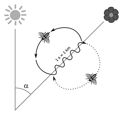 Depiction of the angle from a hive to the sun and to a flower, and the shape of the waggle dance