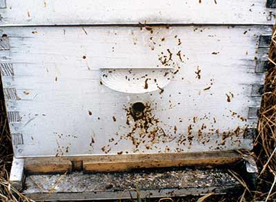 The front of a hive with the brownish streaks that indicate nosema disease