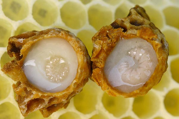 Two queen larvae in cells with royal jelly