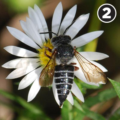 A cuckoo leafcutter bee
