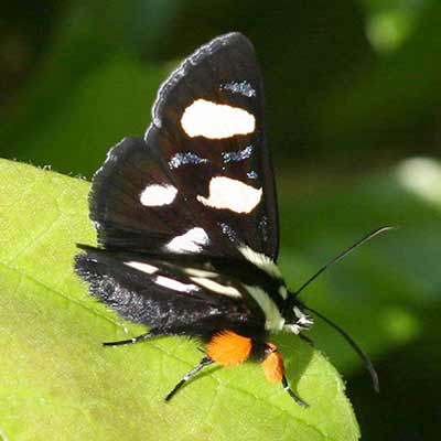 An eight-spotted forester moth