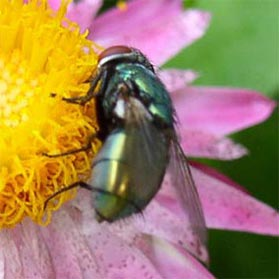 A blow fly