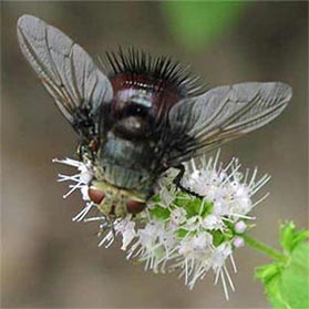 A tachinid fly