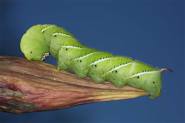 A tobacco hornworm