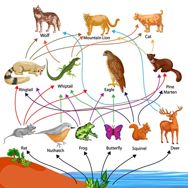 A food web beginning with plants and branching out animals that eat those plants and then to animals that eat the first animals.