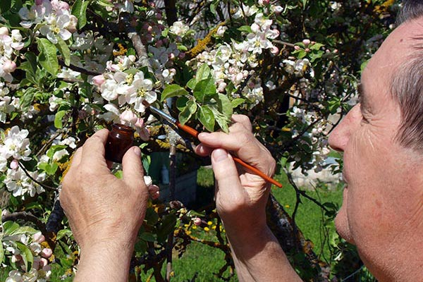A man hand polinating an apple tree with a small paintbrush.