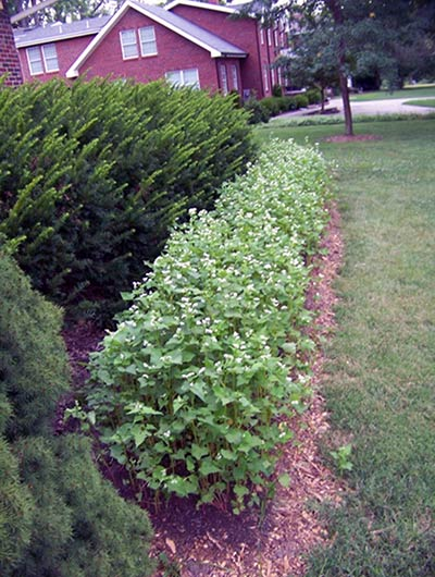 A row of buckwheat between shrubs and a home lawn.
