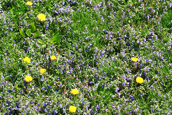 A closeup of a weedy yard, with dandelions and other plants often consider weeds.