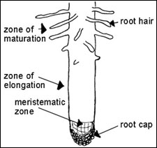 Longitudinal section of root