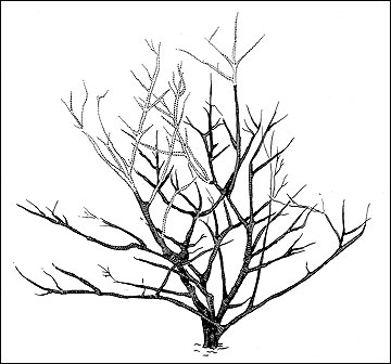 Pruning a large deciduous, flowering shrub