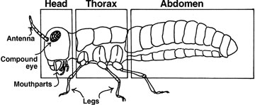 All insects have three main body segments