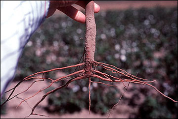 Shallow lateral roots