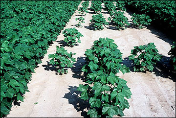 A thin, uneven cotton stand due to seedling disease