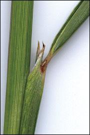 Indian grass collar region