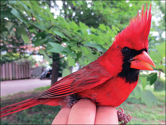 A variety of songbirds and other wildlife are attracted to habitats in urban and suburban areas